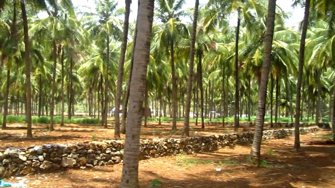 Hybrid Coconut Seeds import from India could see Kenyan